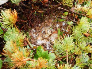 ライチョウの卵8個を追加採取 人工ふ卵が開始
