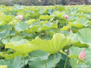不忍池、ハスの花が咲き始める 東京・上野公園