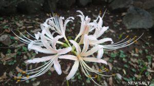 花便り~ヒガンバナ