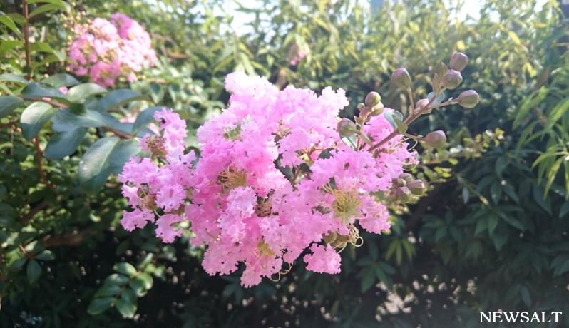 花便り~サルスベリ