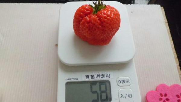 植物工場で58g巨大イチゴ栽培に成功