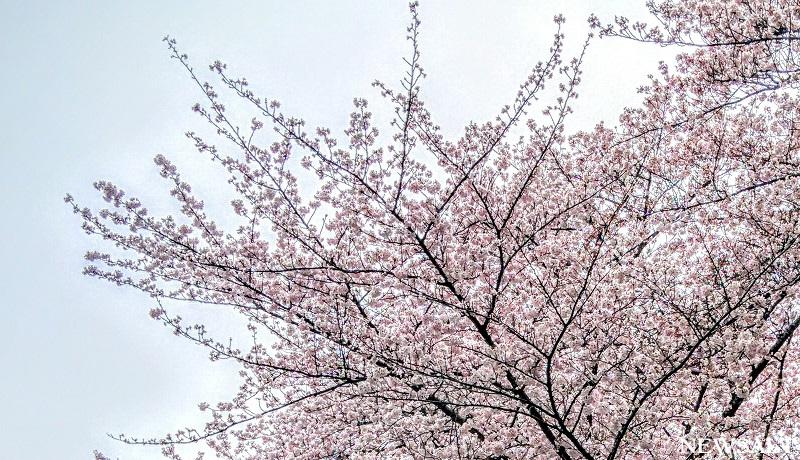 2016年桜特集(9)