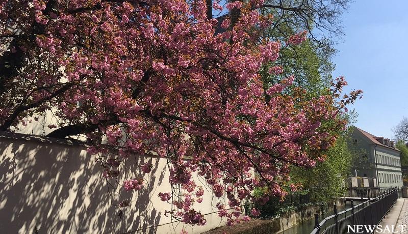 冬から春へ ドイツの桜