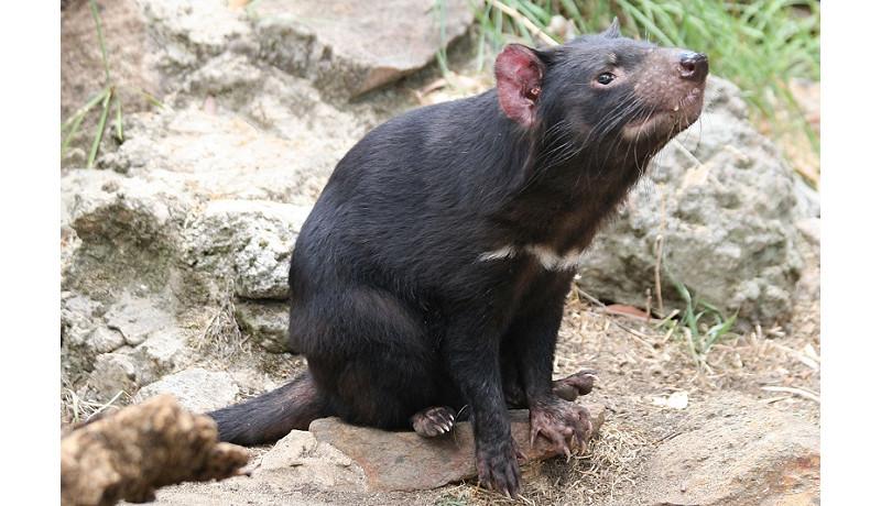 6月11日、多摩動物公園でタスマニアデビルに会える! アジアで唯一