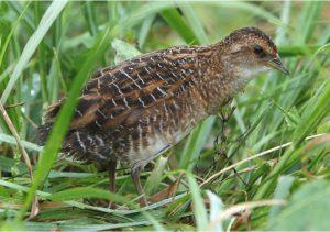 日本野鳥の会、苫東地域で7種類の希少鳥類を確認