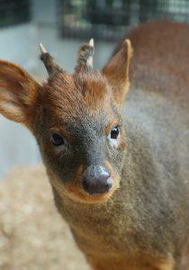 世界最小のシカ「プーズー」日本初公開 埼玉県こども動物自然公園