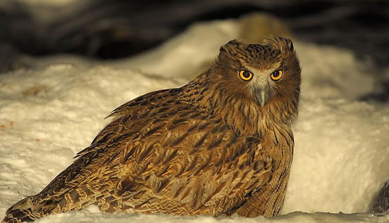 日本野鳥の会、土地を購入してシマフクロウの保護区を設置
