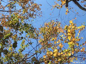 2016年 紅葉便り~ハート型の落ち葉、甘い香り放つ「カツラ」