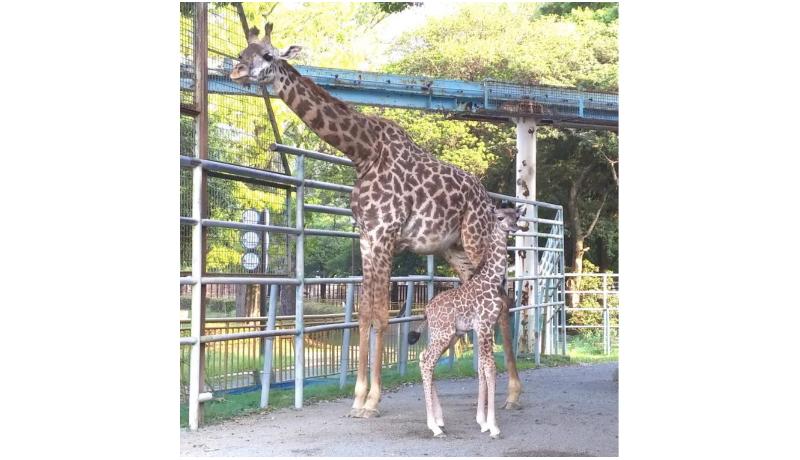 熊本市動植物園、キリンの赤ちゃん公開 地震時は母の胎内で守られ