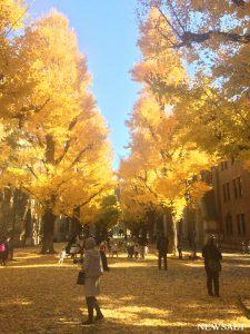 2016年 紅葉便り~黄金色の絨毯の上を歩く 東大本郷キャンパス