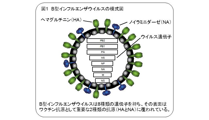 インフルエンザワクチン、効率・迅速な供給へ一歩 東大が成果
