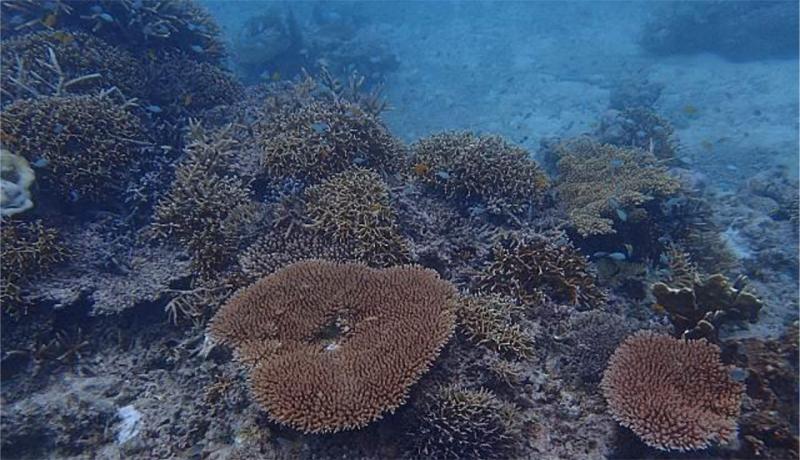 石西礁湖海域のサンゴ白化減少 WWFが所感表明