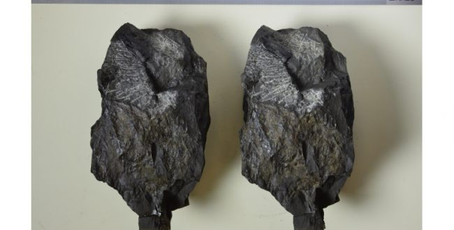 国内最古級の草食恐竜の歯の化石のレプリカ完成 徳島県立博物館