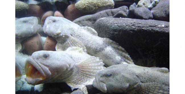 高級魚アラレガコの養殖個体を展示 越前松島水族館