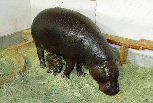 いしかわ動物園、絶滅危惧種コビトカバの赤ちゃんを公開