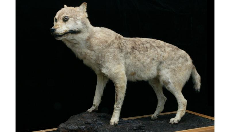 世界に4体しかないニホンオオカミ剥製 和歌山県立自然博物館が展示
