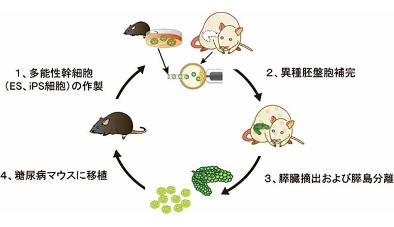 ラット体内に作ったマウスの膵臓を利用した移植治療に成功