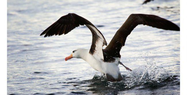絶滅危惧種のアホウドリ、小笠原諸島で2年連続ヒナを確認