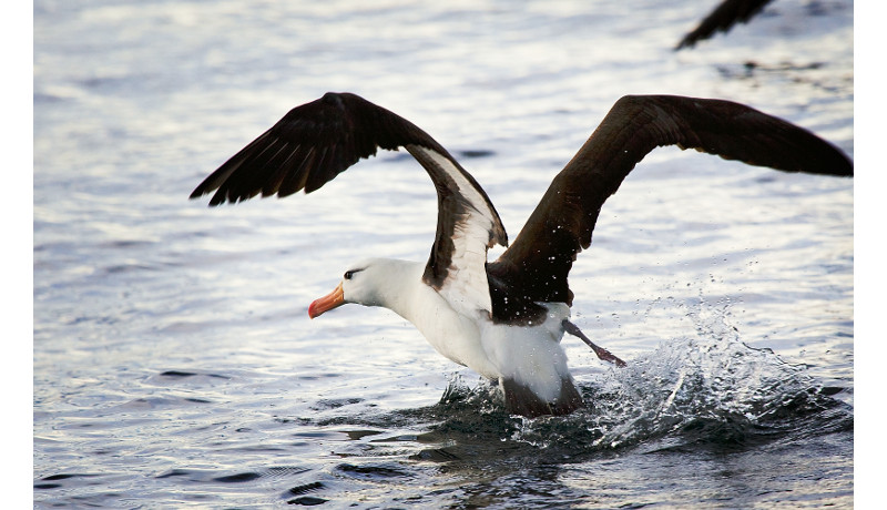 アホウドリ出生地に帰還、小笠原諸島生まれで初