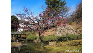 大倉山梅林 1,池のほとりの梅