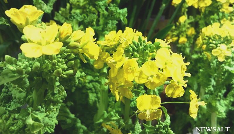 花便り~ナノハナ
