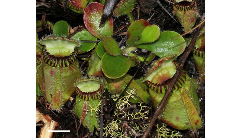 食虫植物、進化のカギ遺伝子候補を発見 フクロユキノシタのゲノム解読