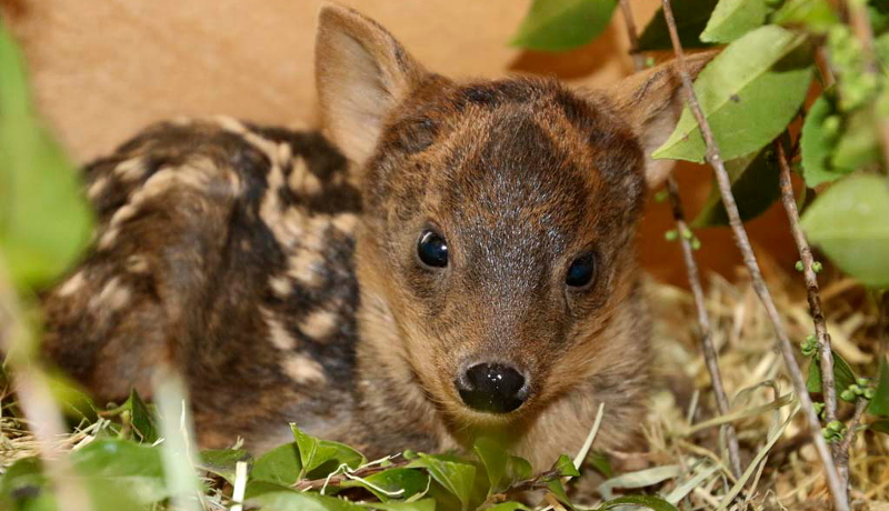 世界最小のシカ「プーズー」の赤ちゃん公開 埼玉県こども動物自然公園