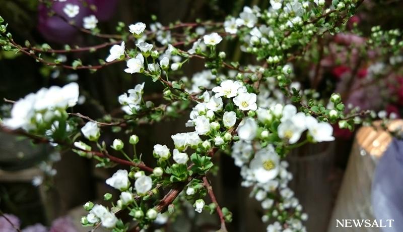 花便り~ユキヤナギ
