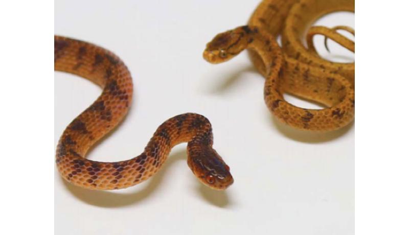 セダカヘビの歯並びは非対称 京大が調査、「食の多様性の表れ」