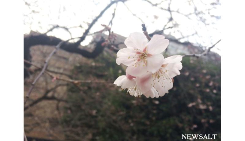 都心の桜、平年より5日早く開花 東京は4月1日に満開