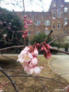 都心の桜、平年より5日早く開花 来週は本州で開花ラッシュ