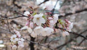 桜(写真1)