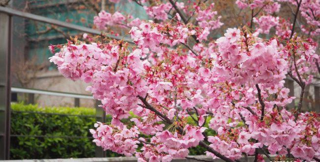 桜(アイキャッチ)