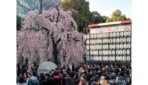 上野公園で桜が見頃1