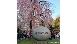 上野公園で桜が見頃2