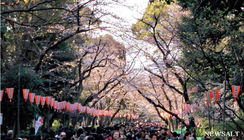上野公園で桜が見頃3