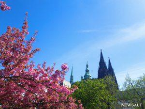 桜特集~ヨーロッパの春(チェコ)