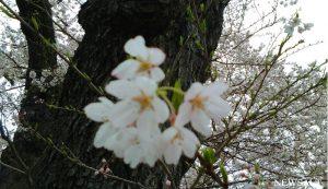 桜特集(11)石部桜2