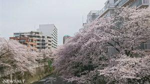 桜特集(6)