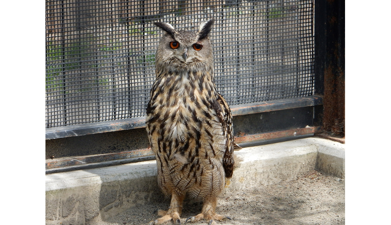 釧路市動物園 シマフクロウの卵をワシミミズクに託す試み