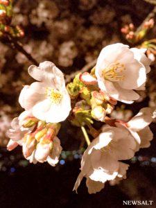 桜特集(8)