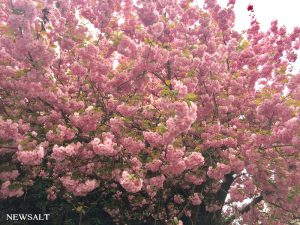 ドイツの桜(アウグスブルク)2017