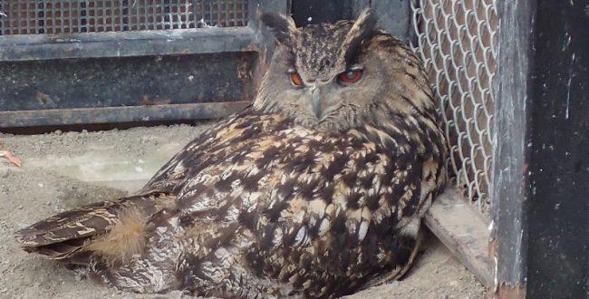 ワシミミズクに託されたシマフクロウの卵かえらず 釧路市動物園
