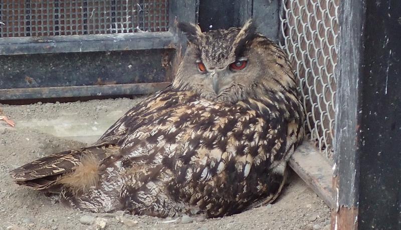 ワシミミズクに託されたシマフクロウの卵、ふ化失敗 釧路市動物園