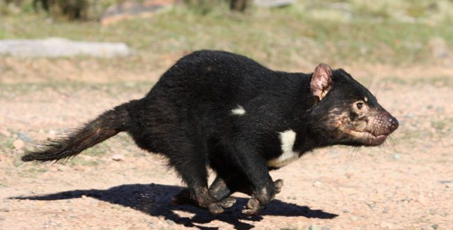 多摩動物公園、タスマニアデビル来園1周年記念講演会を開催