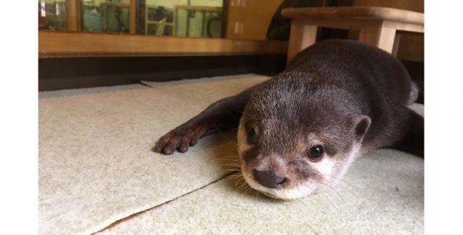 31日「世界カワウソの日」によこはま動物園で特別イベント