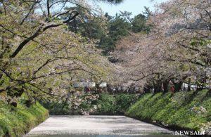 青森「弘前さくらまつり」7日まで 遅咲きの桜が見頃