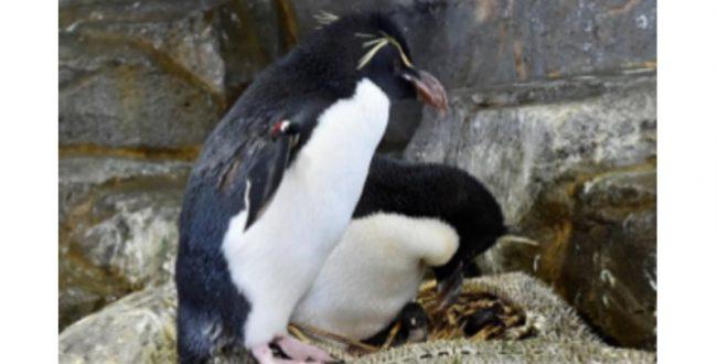 ミナミイワトビペンギンの凍結精子による繁殖成功の可能性 大阪・海遊館