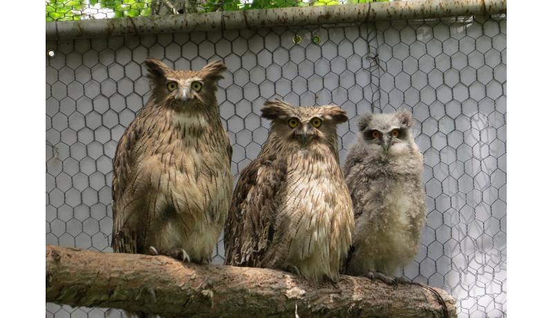 絶滅危惧種シマフクロウが7年ぶりにふ化 釧路市動物園