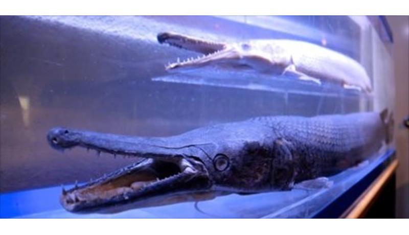名古屋城外堀で捕獲されたアリゲーターガーの標本を公開
